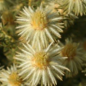 Phylica